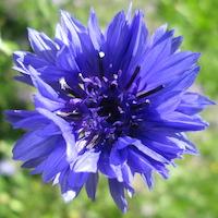 Le bleuet, cristal végétal